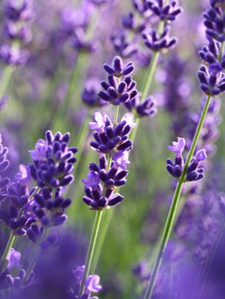 Lavendelblüten, 1a blau, ganz, organic