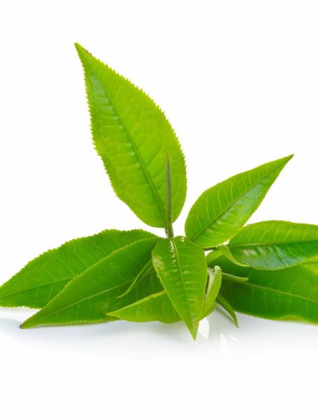 Grüner Tee Hydrolat kbA